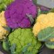 Выращивание цветной капусты и их особенности