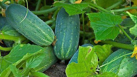 Выращивание огурцов. Как и когда сажать, как поливать и ухаживать за огурцами.
