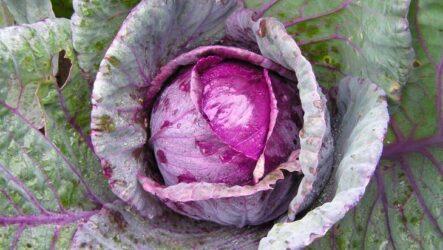 Выращивание краснокочанной капусты их особенности
