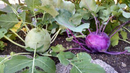 Выращивание капустных растений Кольраби их особенности