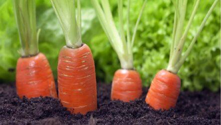 Выращивание моркови, как и когда сажать, как поливать и ухаживать за морковью