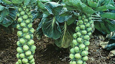 Выращивание брюссельской капусты. Как и когда сажать, как поливать и ухаживать за брюссельской капустой.
