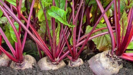 Выращивание столовой свеклы, как и когда сажать, как поливать и ухаживать за свеклой