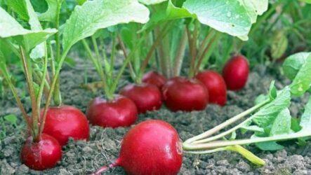 Выращивание редиса, как и когда сажать, как поливать и ухаживать за редисом