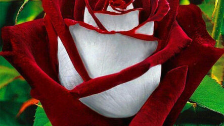 Выращивание роз, виды и их особенности, уход и полив
