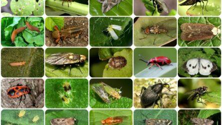 Вредители и болезни овощных культур. Меры борьбы и лечения