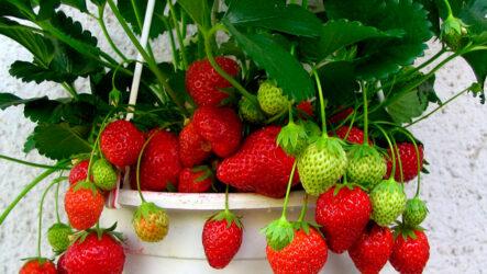Клубника. Как выращивать, особенности и их виды, болезни и лечения, цена