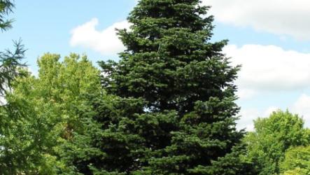 Ель обыкновенная (дерево). Особенности, виды и уход. Болезни и их лечения. Цена ель обыкновения (дерево)