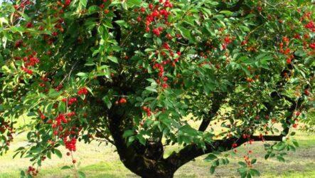 Вишня (дерево). Как выращивать, описание, виды, особенности, посадка и уход. Болезни и лечения. Вишня (дерево) цена.
