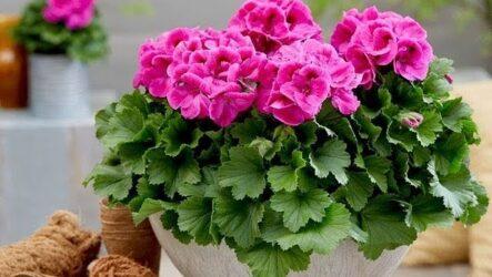 Пеларгония (цветок). Как выращивать в открытом грунте и в домашних условиях. Как садить и поливать.