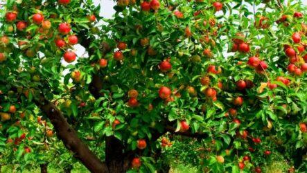 Яблоня (дерево). Как выращивать и ухаживать. Виды и особенности. Болезни и лечение. Цена.