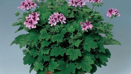 Герань душистая (комнатный цветок). Как выращивать и ухаживать. Виды, особенности и полезные свойства. Болезни и лечения Герани. Цена
