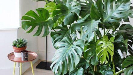 Монстера (комнатный цветок). Как выращивать, ухаживать и поливать. Виды и их особенности. Болезни и лечение. Цена.