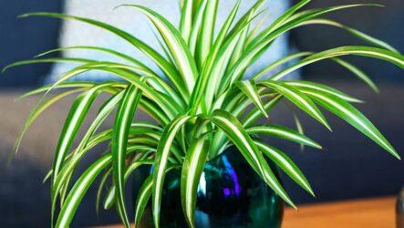 Хлорофитум (комнатный цветок). Как выращивать и ухаживать. Виды, особенности и полезные свойства. Болезни и лечение. Цена