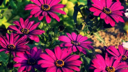 Диморфотека цветок. Как выращивать, ухаживать и поливать. Виды и особенности. Болезни и лечение. Цена