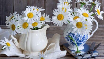 Нивяник цветок. Как выращивать, ухаживать и поливать. Посадка и уход. Виды и особенности. Болезни и лечение
