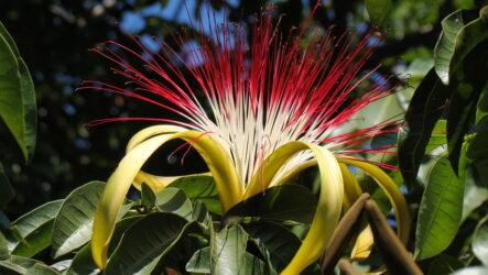 Пахира цветок. Как выращивать и ухаживать. Виды и их особенности. Болезни и лечение. Цена