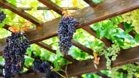 Виноград на приусадебном участке.Как садить и ухаживать. Способы размножений