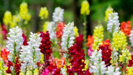 Антирринум цветок. Как выращивать и ухаживать. Виды и особенности. Болезни и лечение. Цена