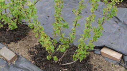 Весенний уход за ягодными кустарниками. 5 важных мероприятий