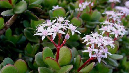 Крассула Овата цветок. Как садить и выращивать. Виды и их особенности. Болезни и лечение. Цена