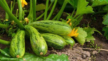 Как выращивать и ухаживать за кабачками. Виды и их особенности. Болезни и лечение. Цена.