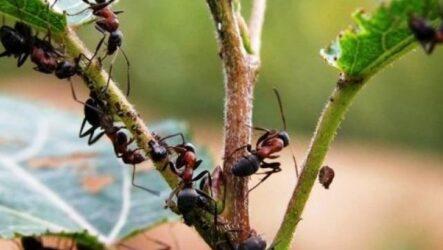 Как избавиться от муравьёв: лучшие народные средства! В саду, огороде, на участке, в теплице, в доме или квартире.
