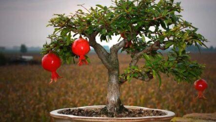 Гранат растение. Как выращивать в домашних условиях. Уход за гранатом. Особенности граната  и  их полезные свойства. Болезни и лечение. Цена