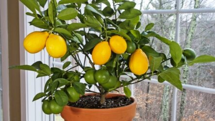 Лимон растение. Как выращивать лимон в домашних условиях. Уход за лимоном. Полезные свойства. Болезни и лечение. Цена