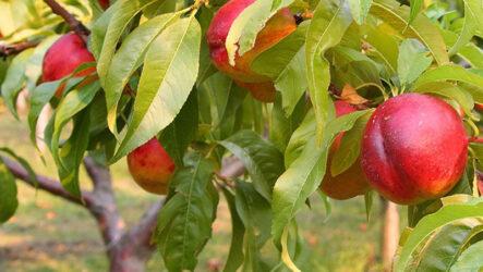 Нектарин (дерево). Как садить и выращивать нектарин? Особенности, полезные свойство и виды нектарина. Размножение нектарина. Болезни и лечение. Цена