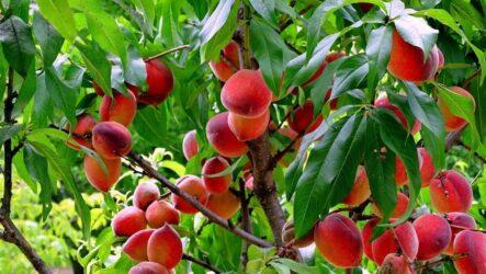 Персик (дерево). Как садить ,выращивать и ухаживать за персиком. Размножение. Виды персика и их полезные свойства. Болезни и лечение. Цена.