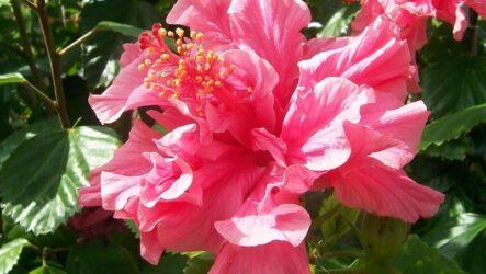 Гибискус Махровый цветок. Как выращивать и ухаживать. Особенности и их виды. Болезни и лечение. Цена