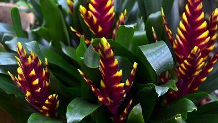 Вриезия (цветок). Как выращивать и ухаживать? Полезные свойства вриезии. Виды и их особенности. Болезни и лечение вриезии. Цена