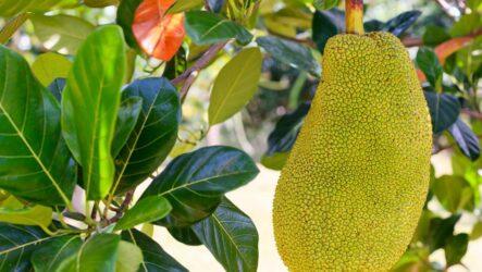 Джекфрут (хлебное дерево). Как вырастить в домашних условиях? Особенности и их виды. Полезные свойства джекфрута. Болезни и лечение. Цена.