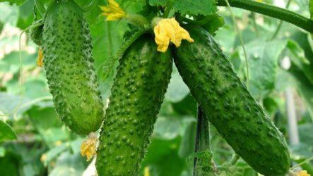 Огурцы. Как выращивать и ухаживать? Особенности и их виды. Болезни и лечение. Цена
