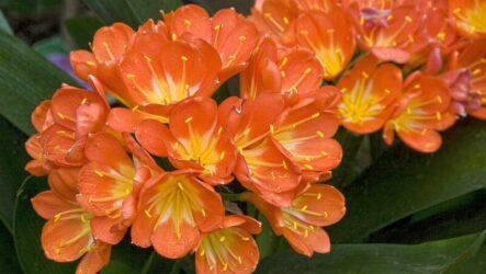 Кливия цветок. Как выращивать и ухаживать? Виды и их особенности. Полезные свойства. Болезни и лечение. Цена