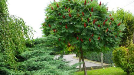 Сумах дерево. Как выращивать и ухаживать. Посадка сумах дерево. Виды и их особенности. Полезные свойство. Болезни и лечение. Цена