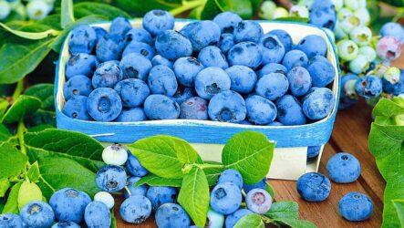 Голубика ягода. Как выращивать и ухаживать за голубикой. Особенности и их виды. Полезные свойство голубики. Болезни и лечение. Цена