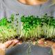 Как вырастить микрозелень в домашних условиях. Полезные свойство. Особенности и их виды. Посадка и уход. Болезни и лечение. Цена