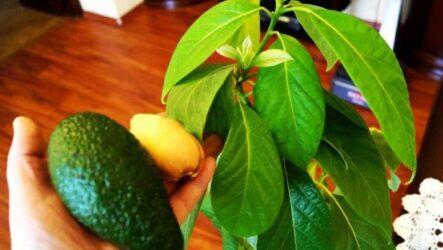 Как вырастить авокадо в домашних условиях. Особенности и полезные свойства авокадо. Виды и сорта. Болезни и лечение. Цена