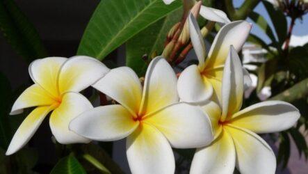 Фикус цветок. Как садить и ухаживать за фикусом в домашних условиях? Размножение. Особенности и их виды. Полезные свойство фикуса. Болезни и лечение. Цена