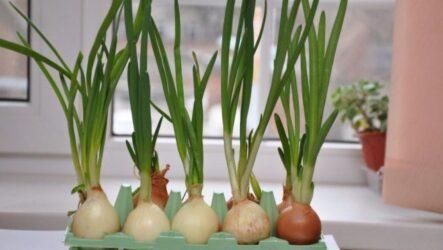 Как выращивать лук в домашних условиях и на огороде? Виды и их особенности. Полезные свойство лука. Болезни и лечение. Цена