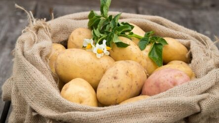 Картофель. Как выращивать картошку в домашних условиях и на огороде? Особенности картошки и их виды. Полезны свойство. Болезни и лечение. Цена