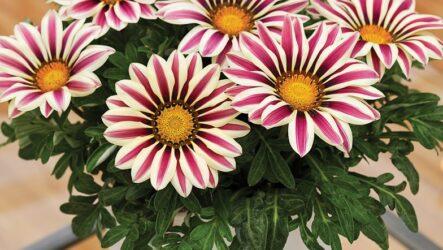 Газания (цветы). Как выращивать и ухаживать за газанией (гацанией)? Виды и их особенности. Болезни и лечение. Цена