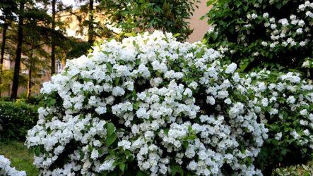 Жасмин (цветок). Как выращивать жасмин? Виды и их особенности. Полезные свойства. Болезни и лечение. Цена