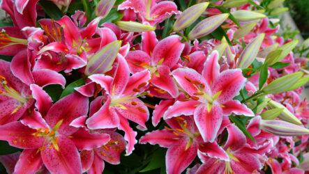 Выращивание лилии. Виды и их особенности. Как правильно садить, поливать, ухаживать за лилии