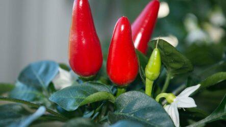 Выращивание острого перца. Как и когда сажать. Сорта и их особенности. Болезни, профилактика