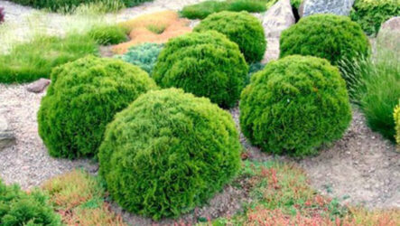 Туя Даника (дерево). Как выращивать и ухаживать. Описание, виды, болезни и лечение туи Даника. Цена.