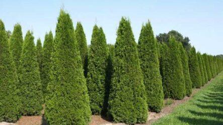 Туя Брабант (дерево). Как выращивать и ухаживать. Виды. Болезни и лечения. Цена туи Брабант