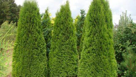 Туя Смарагд (дерево), как выращивать. Виды и описание. Болезни и их лечение. Цена туи Смарагд (дерево).